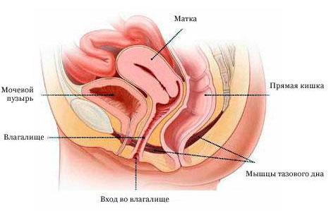 женские половые органы обтянутые нижним бельем